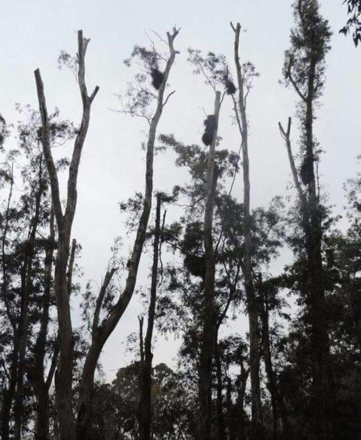poda de arboles Eucalyptus Cinerea